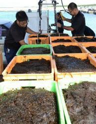 C2qzVagUAAAQEwpモズク収穫始まる 沖縄宮古島