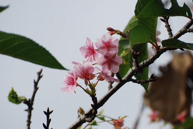 シキザクラがきれいに咲いていた