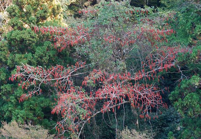 イイギリの赤い実がいっぱいの巨木