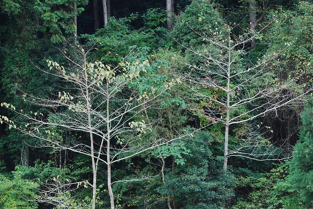 イイギリの樹形