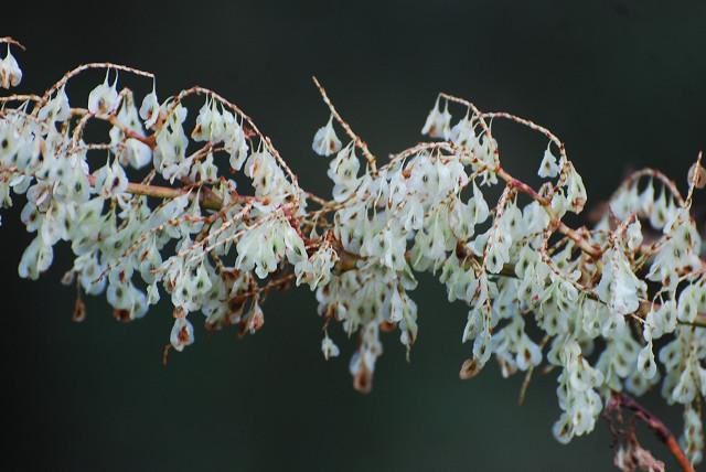 イタドリの白い穂が