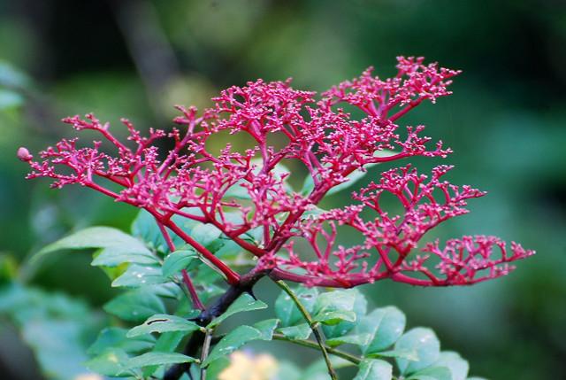 イヌザンショウの赤い果序