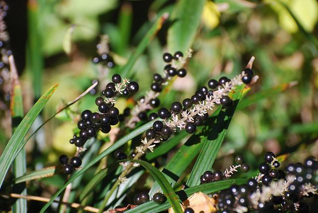庭のヤブラン黒い実