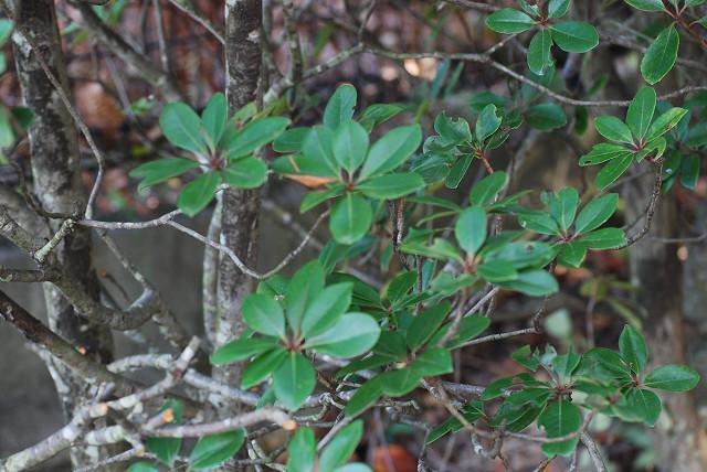 シャリンバイの輪生する葉