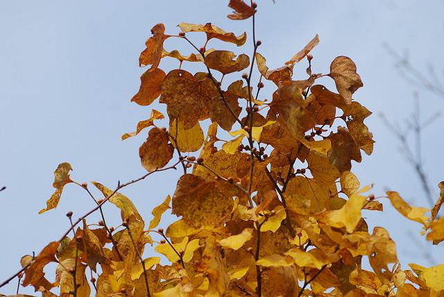 ダンコウバイの黄葉が