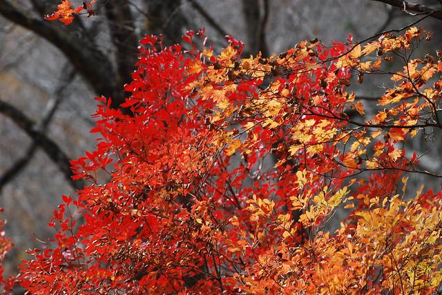 ドウダンツツジの黄葉がきれい