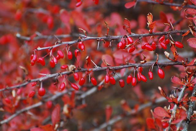 真っ赤なメギの紅葉