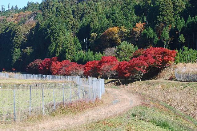 我が家の前のイロハモミジの紅葉