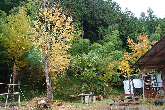 11月庭の黄葉
