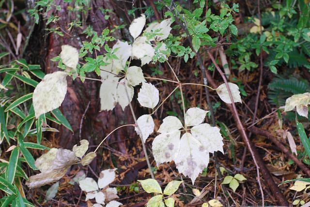 コシアブラの黄葉は