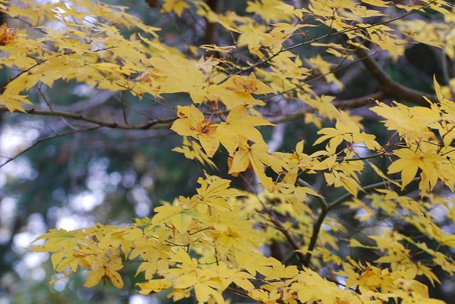 シロモジの黄葉が
