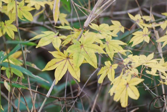オオモミジの黄葉が