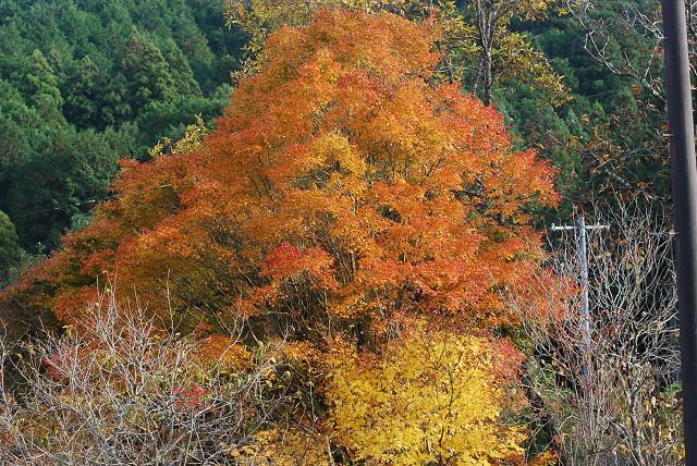 イロハモミジの黄葉はきれい
