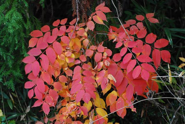 ヤマウルシの紅葉がきれい