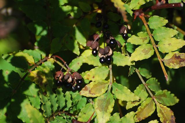 サンショウの黒い実