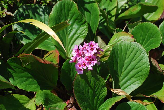 ヒマラヤユキノシタの花が