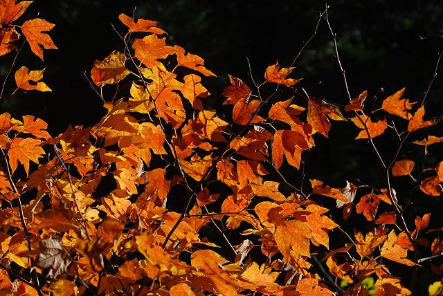 赤っぽい葉のシロモジ