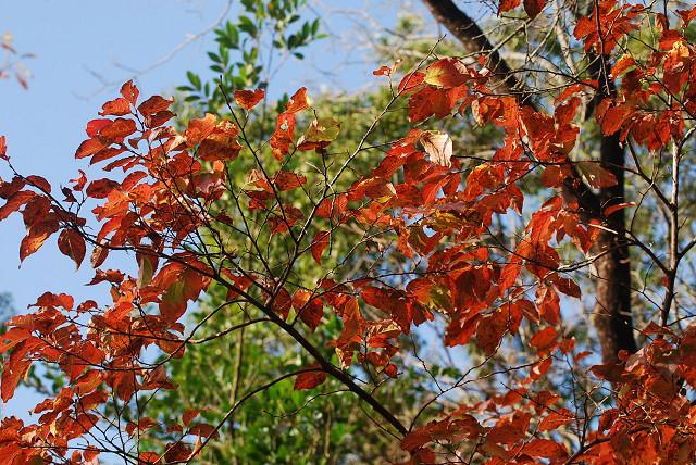 ネジキの紅葉が