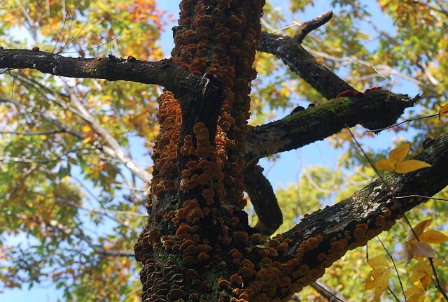 枯れ木にサルノコシカケ