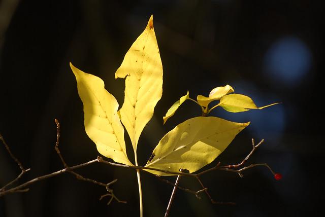 タカノツメの黄葉が美しい