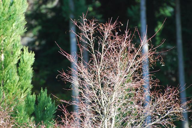 赤っぽいイロハモミジの枝先