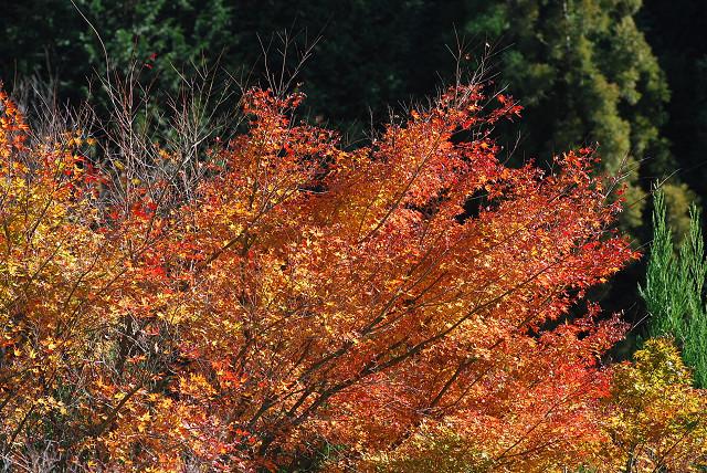 残っているイロハモミジの紅葉