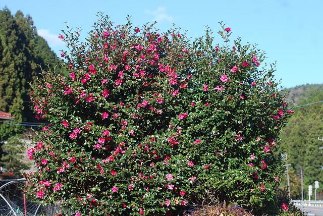 花がいっぱいのサザンカ