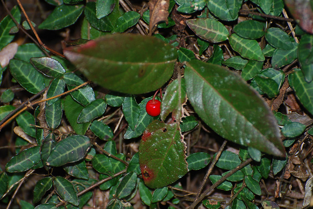 ヤブコウジに赤い実が