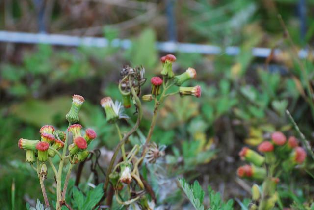 ベニバナボロギクの頭花