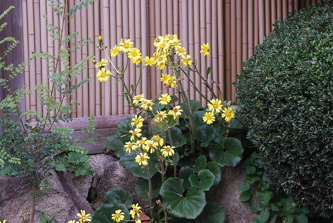 ツワブキの花が