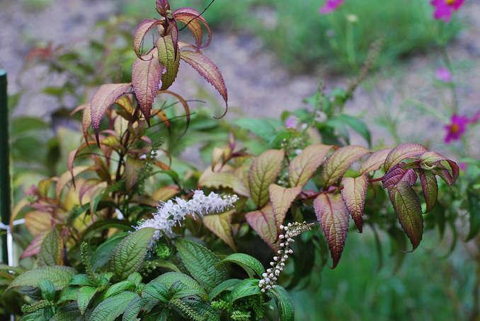 シモバシラの花1