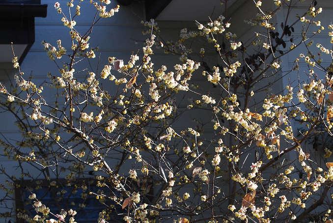 ロウバイの花がきれい1
