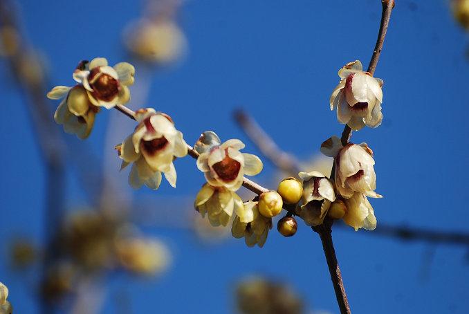 ロウバイの花がきれい2