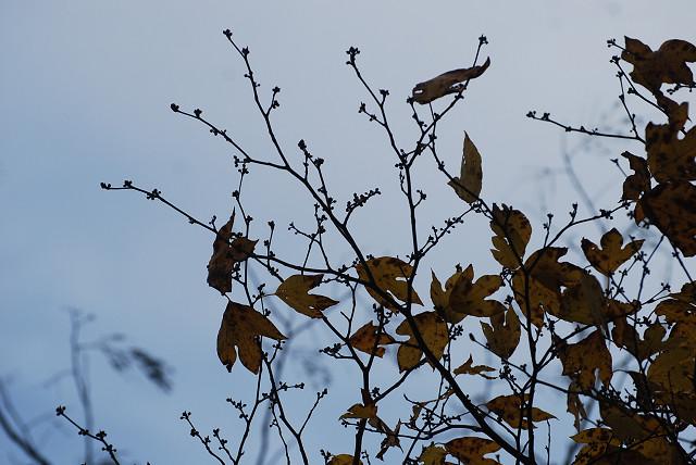 シロモジのオレンジ色の黄葉