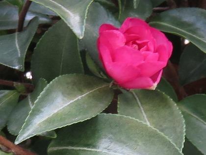 山茶花 (7)