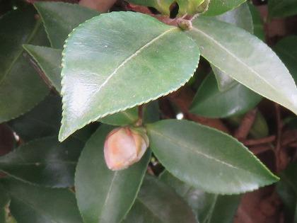 山茶花 (8)