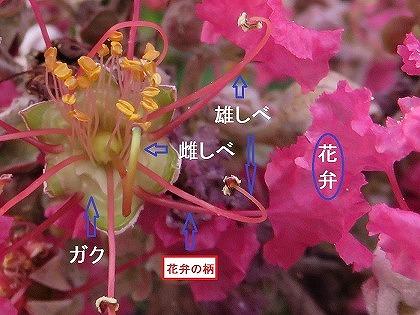 サルスベリ (4)