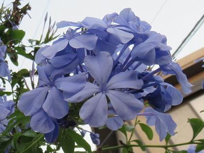 ルリマツリ (4)
