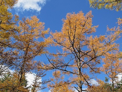 上高地のカラマツ (秋空の下のカラマツ)