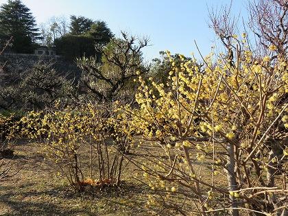 大阪城公園 蝋梅 (4)