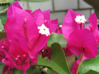 ブーゲンビレアの花 (2)