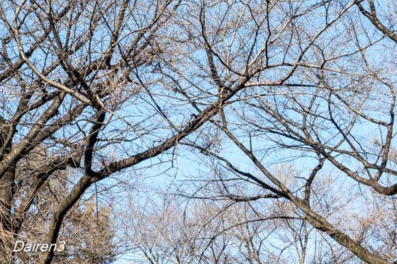 葉を落とした桜