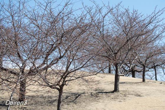 伊勢崎市民の森公園の河津桜