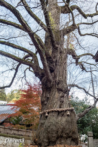 愛染かつらの木