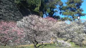 2017年2月7日皇居紅白の梅