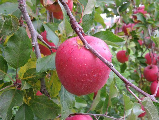 真赤なリンゴ