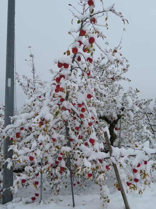 雪・・・リンゴ