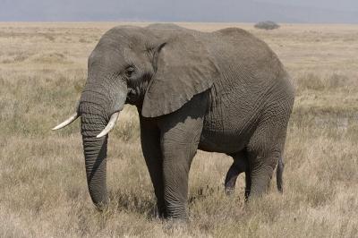 1s-Serengeti_Elefantenbulle