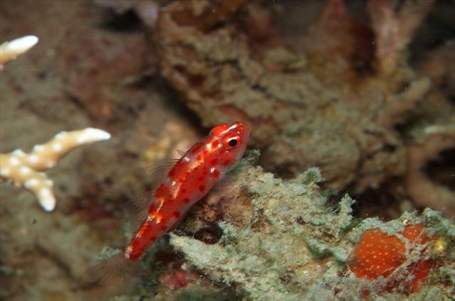 バリ島 レッドブローチドワーフゴビー
