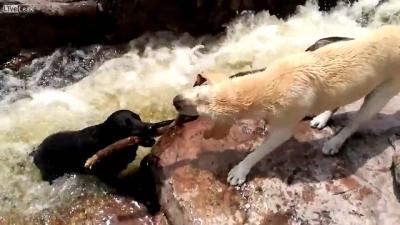 【スゴイ!】川に流される犬を・・・・・犬が助けた瞬間映像!